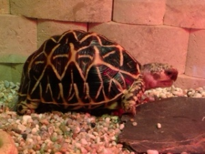 tortoise i varmelampe