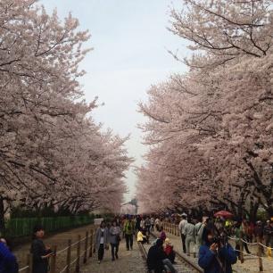 Kirsebær-blomstring