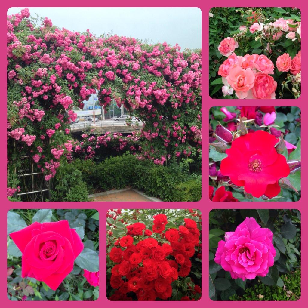 roser roser roser